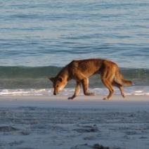 striding dingo